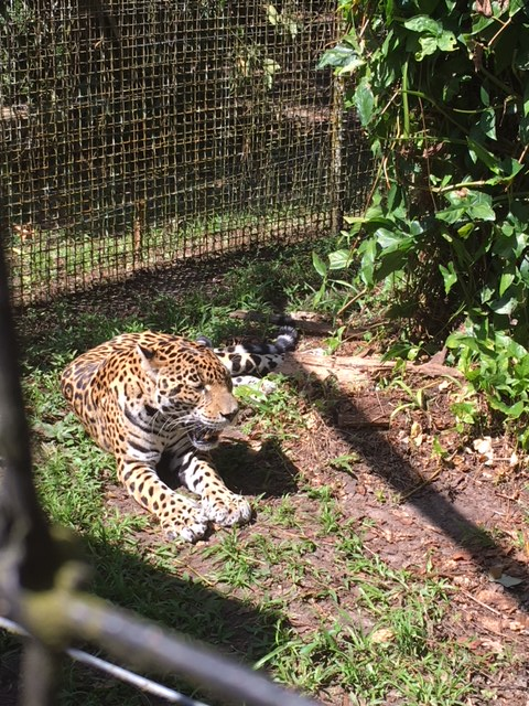 Zoo - Jaguar