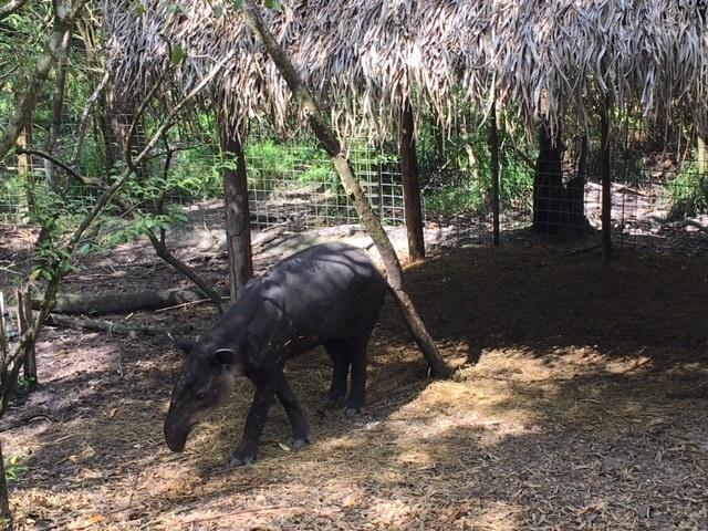 Zoo - Tapir